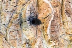 棕榈的褐色被雕刻的凸面纹理吠声的纹理有一个孔的与垂直的小条 抽象背景异教徒青绿 库存照片