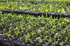 棕榈种子在种植园 免版税库存照片