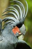 棕榈美冠鹦鹉 库存照片