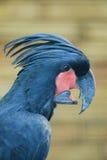 棕榈美冠鹦鹉 免版税图库摄影