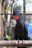 黑棕榈美冠鹦鹉 免版税库存照片
