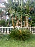 棕榈香蕉在旅馆Muchobega,Saranda 库存图片