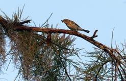 棕榈鸣鸟鸟刚毛虫类palmarum吃一只蠕虫 库存图片