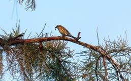 棕榈鸣鸟鸟刚毛虫类palmarum吃一只蠕虫 免版税库存照片