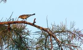 棕榈鸣鸟鸟刚毛虫类palmarum吃一只蠕虫 免版税库存图片