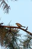 棕榈鸣鸟鸟刚毛虫类palmarum吃一只蠕虫 库存照片