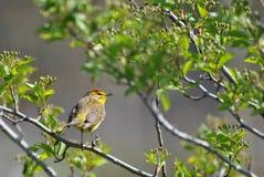 棕榈鸣鸟 库存图片