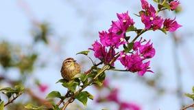 棕榈鸣鸟 图库摄影