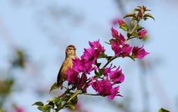 棕榈鸣鸟 免版税库存照片