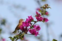 棕榈鸣鸟 免版税图库摄影