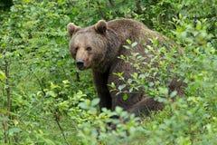 棕熊。 免版税库存图片
