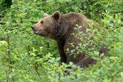 棕熊。 免版税图库摄影