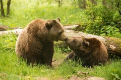 棕熊亲吻 库存图片