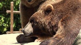 棕熊休息 股票录像
