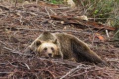 棕熊休息 免版税库存图片