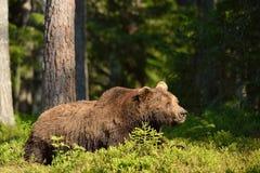 棕熊休息 免版税图库摄影