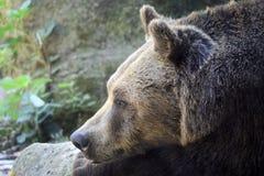 棕熊休息 库存照片