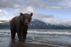 棕熊传染性的鱼在湖 免版税库存图片
