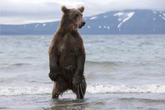 棕熊传染性的鱼在湖 免版税库存照片