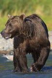 棕熊公猪的惊人的垂直的图片 库存图片