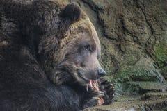 棕熊吃 图库摄影