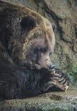 棕熊吃 免版税库存照片