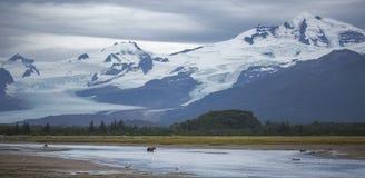 棕熊和冰川 库存照片