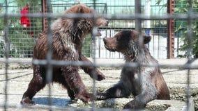 棕熊在动物园里 演奏熊 慢的行动 股票录像