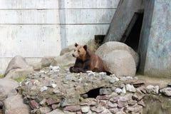 棕熊在动物园里 库存照片