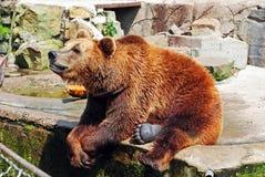 棕熊在动物园里 免版税库存照片