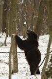 棕熊在国家公园 免版税库存图片