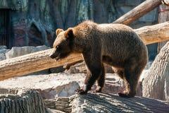 棕熊在日志走 免版税库存图片