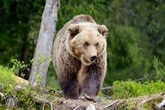 棕熊在森林里 图库摄影