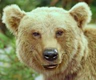 棕熊在森林里 免版税库存照片