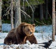 棕熊在沼泽的熊属类arctos在春天森林 图库摄影