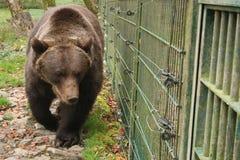 棕熊在篱芭后的动物园里,特写镜头 图库摄影