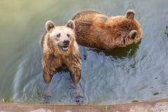 棕熊在水中 免版税库存图片