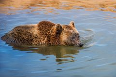 棕熊在水中 库存图片