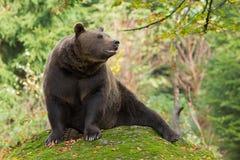 棕熊在巴法力亚森林里 免版税库存图片