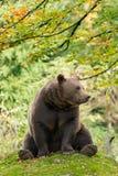 棕熊在巴法力亚森林里 库存照片