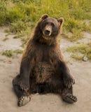 棕熊实践的瑜伽 图库摄影