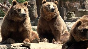 棕熊家庭  股票视频