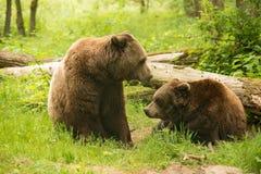 棕熊家庭 免版税库存图片