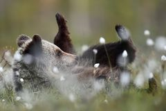 棕熊崽休息 免版税库存图片