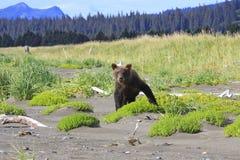 棕熊崽是象一个三岁的孩子 免版税库存照片