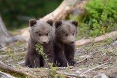 棕熊崽 免版税图库摄影
