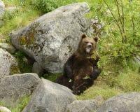 棕熊恼怒 免版税库存图片