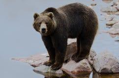 棕熊捕鱼三文鱼 图库摄影
