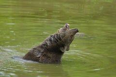 棕熊沐浴 免版税库存图片
