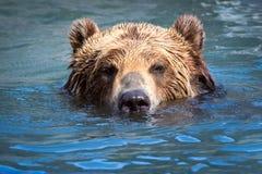 棕熊游泳在河 免版税库存照片